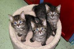 Winkin, Blinkin, and Nod (Kurt Faler) Tags: cat kitten earth kitty kittens center clinic ffrc friendsoffelinesrescuecenter earthangelsspayneuterclinic easnc