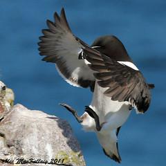 Razorbill (AMKs_Photos) Tags: sea bird nature birds animal canon photography eos scotland aberdeenshire reserve cliffs 7d seabird razorbill amk rspb grampian alca torda crawton fowlsheugh flickraward amksphotos