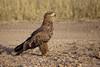 Tawny eagle, Serengeti NP (Zul Bhatia1) Tags: bird tanzania eagle wildlife safari zul np february serengeti 2012 tawny bhatia naturetrek tanzaniahighlights zulbhatiacopyright