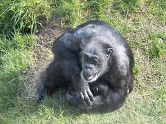 Belfast zoo (Kenny Belfast) Tags: baby max zoo chimp kodak belfast bellevue easyshare belfastzoo bellevuezoo kodakz990 z990 kodakeasysharemaxz990