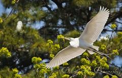 Egret nesting time (Deborah Fox Photography/magic_eyes50) Tags: blue trees sky white green birds canon20d va virginiabeach egret 2012 nesting april14 flighting largebirds