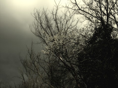 May blossom in mist (3pebbles) Tags: cloud mist misty blackwhite blossom may hedge hawthorn hedgerow