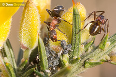 Wood Ants and Aphids (Dom Greves) Tags: uk insect spring wildlife ant farming honeydew dorset april aphid heathland gorse symbiosis behaviour woodant formicarufa blackbeanaphid mutualism