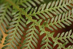 Blechnum fraseri. (nznatives) Tags: autumn fern frond nz sori fertile nznative northlandnz puketiforest miniaturetreefern waihoanga blechnumfraseri