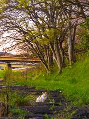 PhoTones Works #1265 (TAKUMA KIMURA) Tags: wild cats nature animal japan cat cherry landscape blossom   nights     omd kimura korakuen    takuma    em5 zd1260mmswd photones
