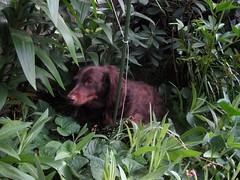 The Hunter (Tobyotter) Tags: dog chien pet frank hound canine dachshund perro hund link sleepyhead wienerdog dackel teckel k9 doxie sausagedog aplaceforportraits pointyfaceddog
