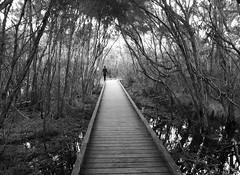 balcombe creek (75kombi) Tags: lumix iso100 estuary panasonic swamp boardwalk 24mm morningtonpeninsula 125 f21 mtmartha lx5 balcombecreek lumixlx5 panasoniclumixlx5 rkt007 highdynamicbwmode