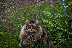 141/366 Welcome to the Jungle (Mark Seton) Tags: uk england pets oneaday cat garden photo nikon flickr lavender creativecommons photoaday chives elijah pictureaday d60 project365141 flickriver markseton project365200512
