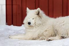 Norwegian dog (NykO18) Tags: dog snow building animal norway mammal europe manmade housing lofoten nordnorge nordland henningsvr naturalelement austvgsya