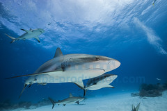 2014 03 TIGER BEACH-2613