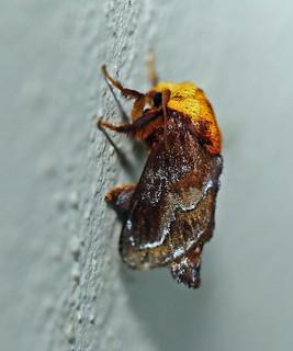 Moth, REGUA, Brazil