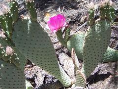 Beavertail bloom