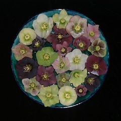 Helleborus x hybridus