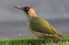female Green Woodpecker (Walmer Wildlifer) Tags: elements