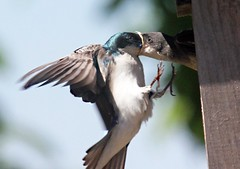 Tree Swallow feeding young 6/24, (petertrull) Tags: elements