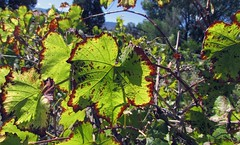 Leaves (Lydia_Brave) Tags: leaves green brown fall vines grapes wine vinyard focus contrast energy art photo photography