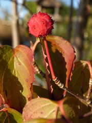 Dogwood in our backyard (Alta alatis patent) Tags: dogwood fruit red berry autumn