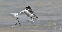 And the Winner is................Contestant #3 (nick.linda) Tags: sanderling calidrisalba dancingwiththebirds dancingwiththestars strictlycomedancing sea waders dance wildandfree canon7dmkii canon100400