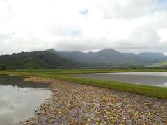 The Taro Fields (jimmywayne) Tags: hanalei kauai kauaicounty hawaii hanaleivalley taro