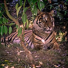 Sumatran Tigers 0021 (ros.wood) Tags: animals wildanimals sumatrantiger zooanimals nikon 18200nikonvriilens nikon1v3 v3 ft1 london