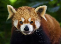Cute as... (Helen Beresford) Tags: uk cute mammal firefox norfolk redpanda tufty vulnerable thrigbyhall specanimal