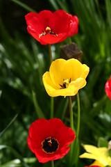RED, before and after. (the water watcher 05.) Tags: flowers red plant black flower green nature yellow garden scotland petals dof tulips bokeh canoneos350d borders hawick redandyellow yellowtulip scottishborders redtulip roxburghshire gardenflower redcolor redcolour redbeforeyellow