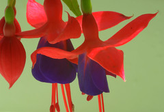 Fushia ? (Charles Smallman) Tags: flowers portrait people glass speed reflections nikon holidays vespa sheep artistic cuba churches charles stainedglass isleofwight solent cowes windsurfer cowesweek kitesurfers ryde scooterrally smallman appley nikon300 nikon700 charlessmallman vacationsscooters charlessmallmansportfoliojanuary