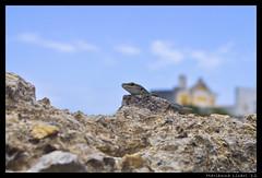 Profilo destro,profilo sinistro e un bel sorriso per voi (via_parata) Tags: lizard animali ponza isola lucertola rettili