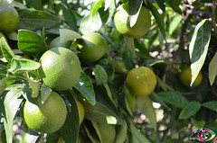 Green Lemon Tree (s.infante) Tags: tree green lemon limoni verdi