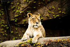 Solitude (Zouhair Lhaloui) Tags: life park wild cats nature zoo feline lion handheld animales wildcat mammals lioness lincolnparkzoo bigcats carnivore predators carnivora pantheraleokrugeri africanlions wildlifw lincolnparkzoochicago zlphotography zouhairlhaloui