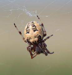 Larinioides cornutus (alunwilliams155) Tags: spider prycopyn larinioidescornutus