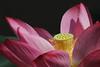 IMG_3285 (HL's Photo) Tags: plant flower macro nature garden botanical lily natural lotus bloom 花 blooming 荷花 蓮花 macroflower macronature