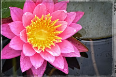 Pink Lotus Flower - Zen Art by Sharon Cummings (BuyAbstractArtPaintingsSharonCummings) Tags: flowers nature floral beauty pond day natural lotus vibrant calming zen massage pinkflower salon meditation spa soothing flowergarden affirmations spas salons dayspa pinklotus colorfulwaterlily zenflower