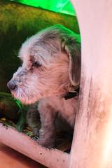 Gran Compaero (Jos Ramn de Lothlrien) Tags: dog puppy amigo casa amor jr perro lucky mascota lamina maltes pelos compaero cario adulto producciones pelitos lealtad obediencia fidelidad