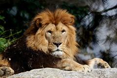 The King (annalisabianchetti) Tags: nature animals lion leone animali