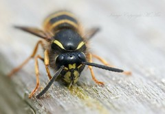Wasp.! (nondesigner59) Tags: macro nature closeup insect wasp wildlife chewing nestbuilding eos50d nondesigner nd59 copyrightmmee