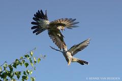 The battle of the Cuckoos (hvhe1) Tags: bird nature animal fight wildlife thenetherlands battle cuckoo koekoek cuculuscanorus commoncuckoo kuckuck tonden specanimal hvhe1 hennievanheerden coucougris