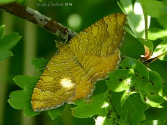 Yellow shell (LPJC) Tags: uk moth warwickshire 2014 yellowshell bishopshill lpjc