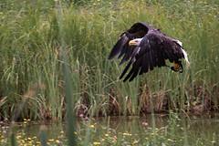 flying bald eagle (Cloudtail the Snow Leopard) Tags: seeadler wildpark bad mergentheim tier animal vogel bird flug fliegen weiskopfseeadler adler yukon bald eagle haliaeetus leucocephalus