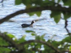 Coot (rbjag71) Tags: coot duck aquaticbird foliage hogganfield loch glasgow canonpowershot sx610hs
