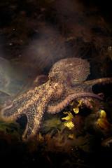 Lanier_WCODP_Photos2016_202013 (AndyLanier) Tags: alaska eyes kodiak kodiakalaska octopus pacificgiantoctopus suctioncups tentacles tidepools