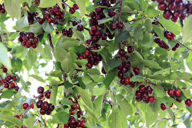 cherry bounty