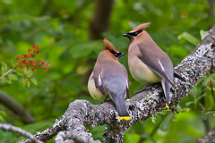 Remember when we were young ... ? (Gabriel.Lascu) Tags: bird cedarwaxwing bombycillacedrorum northamericanbird gabriellascu iahohi dmslair