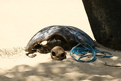 Turtle skeletton lying on a beach in Timor, Indonesia. (cookiesound) Tags: trip travel summer vacation holiday travelling beach canon indonesia skeleton photography asien fotografie turtle bones seaturtle timor canoneos scull reise schildkrte turtlebones turtleskeleton skelett wasserschildkrte travelphotography traveldiary reisefotografie beachtimor turtlescull animalbones deadturtle reisetagebuch animalskeleton beachindonesia nisamaier ulrikemaier animalscull reisefotography seaturtleskeleton turtleframework skelettschildkrte strandindonesia toteschildkrte