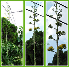 Agave desmettiana (Smooth Agave, Smooth/Dwarf Century Plant), showcasing its captivating flowering scape (about 3m tall) - April 28 2011