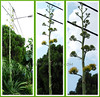 Agave desmettiana (Smooth Agave, Dwarf Century Plant, Smooth Century Plant)
