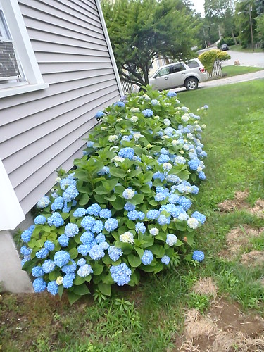 So are the hydrangeas