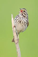 Calling Savannah Sparrow (Jeff Dyck) Tags: birds singing song sparrow perched savannah calling savannahsparrow passerculussandwichensis passerine passerculus coth jeffdyck supershot avianexcellence oxdrift coth5