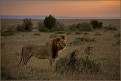 King@Sunset (Joost N.) Tags: africa travel light sunset wild portrait sky sun sunlight mountains color male nature grass animal golden photo big zonsondergang bush nikon kill photographer kenya african wildlife lion natuur pride safari killer mara lions afrika nikkor plains joost kenia masai safaris manes d700 notten
