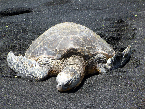Hawaiian Green Sea Turtle (Honu)